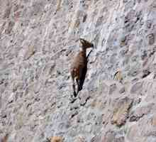 Horned alpinista IBEX