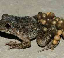 Toad-babica