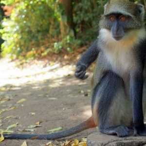 Monkeys - Catarrhini