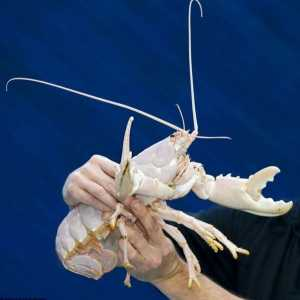 Lucky Lobster albino